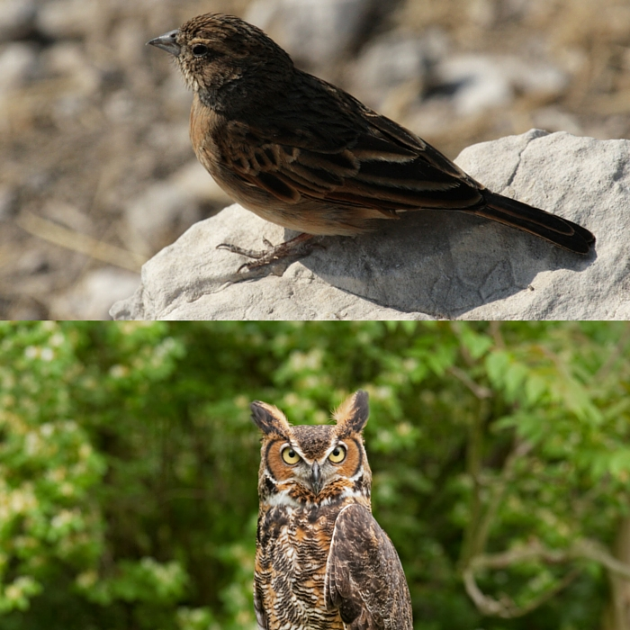 Owl Lark